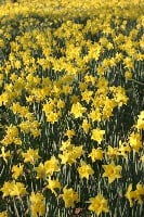 When all at once I saw a crowd, A host, of golden daffodils;
