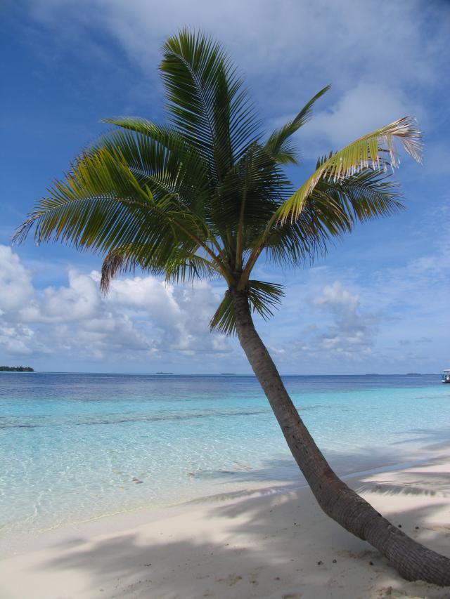 Palm tree on a white sandy beach