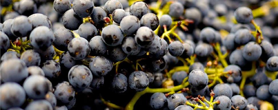 grapes-minitab