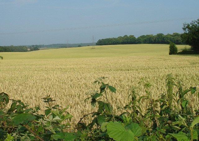 Corn field, Peas Pottage by Pete Chapman