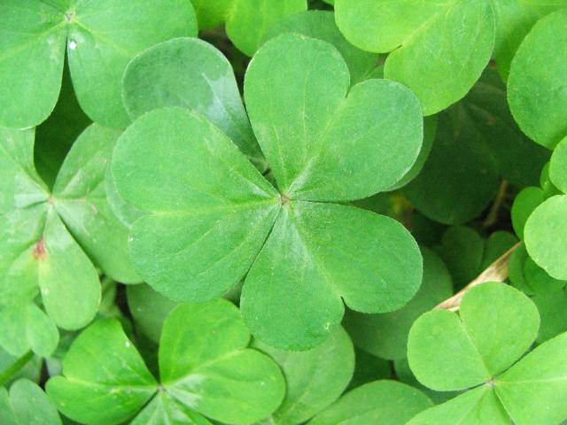 The Odds Of Finding A Four Leaf Clover