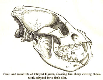 Hyena skulls: optimized for cracking bones!