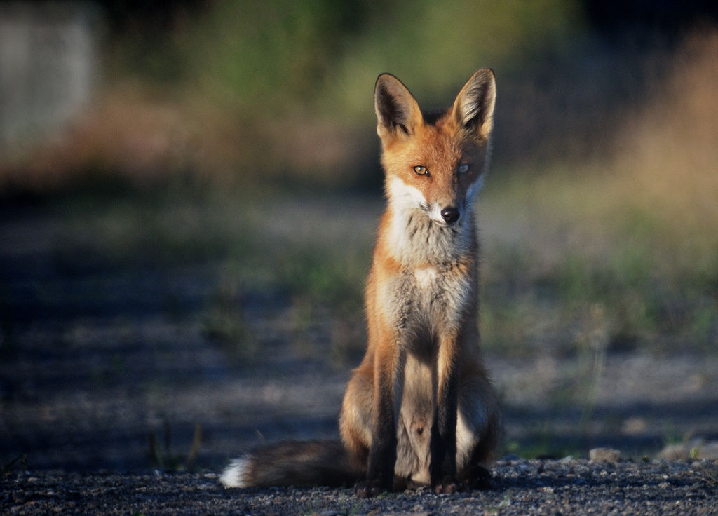 hungry fox